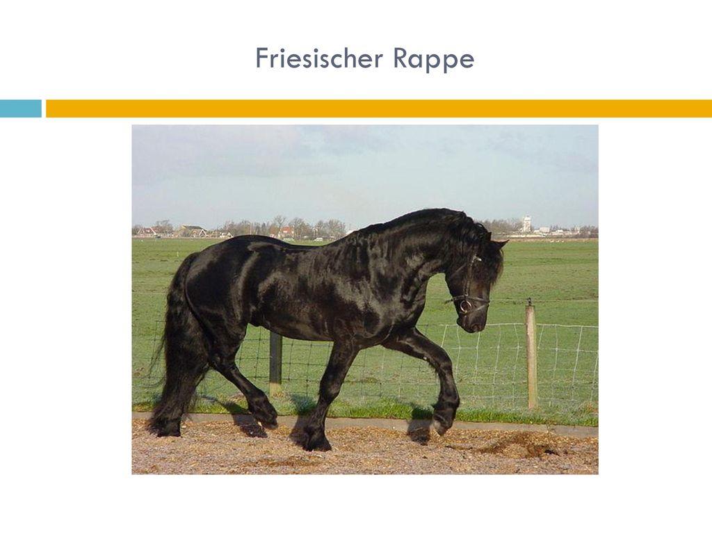 Friesischer Rappe