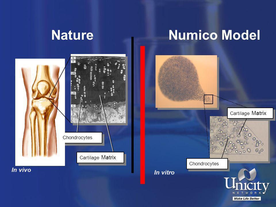 Nature Numico Model In vivo In vitro Cartilage Matrix Chondrocytes