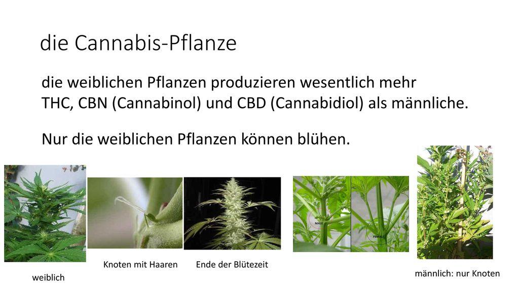 die Cannabis-Pflanze die weiblichen Pflanzen produzieren wesentlich mehr. THC, CBN (Cannabinol) und CBD (Cannabidiol) als männliche.