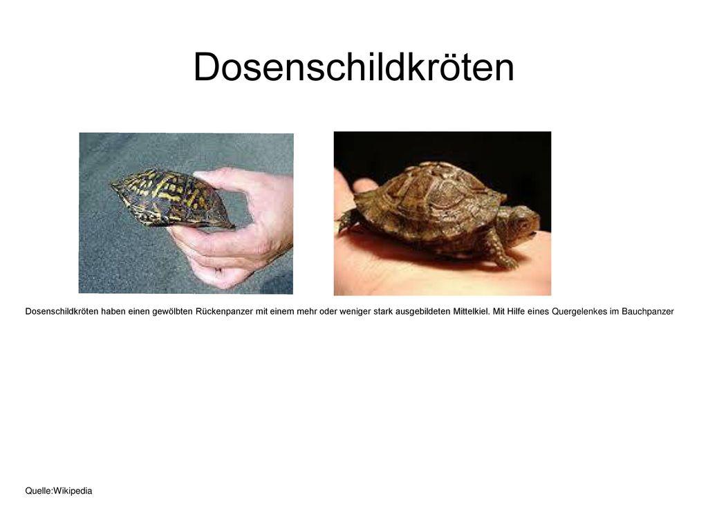 Dosenschildkröten