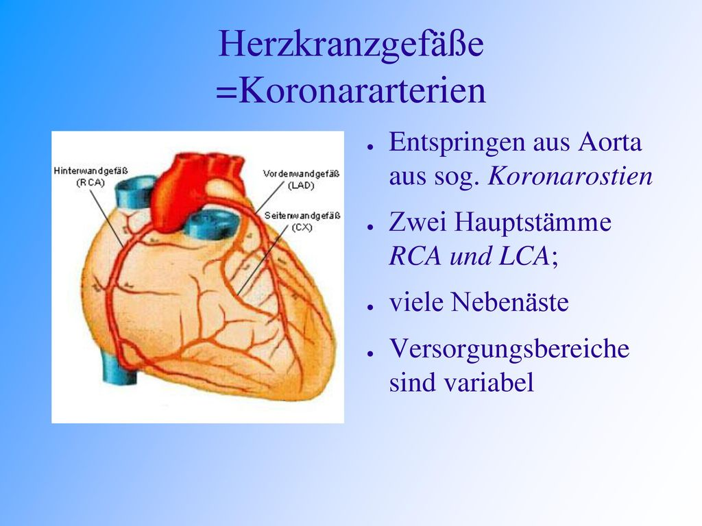 Herzkranzgefäße =Koronararterien