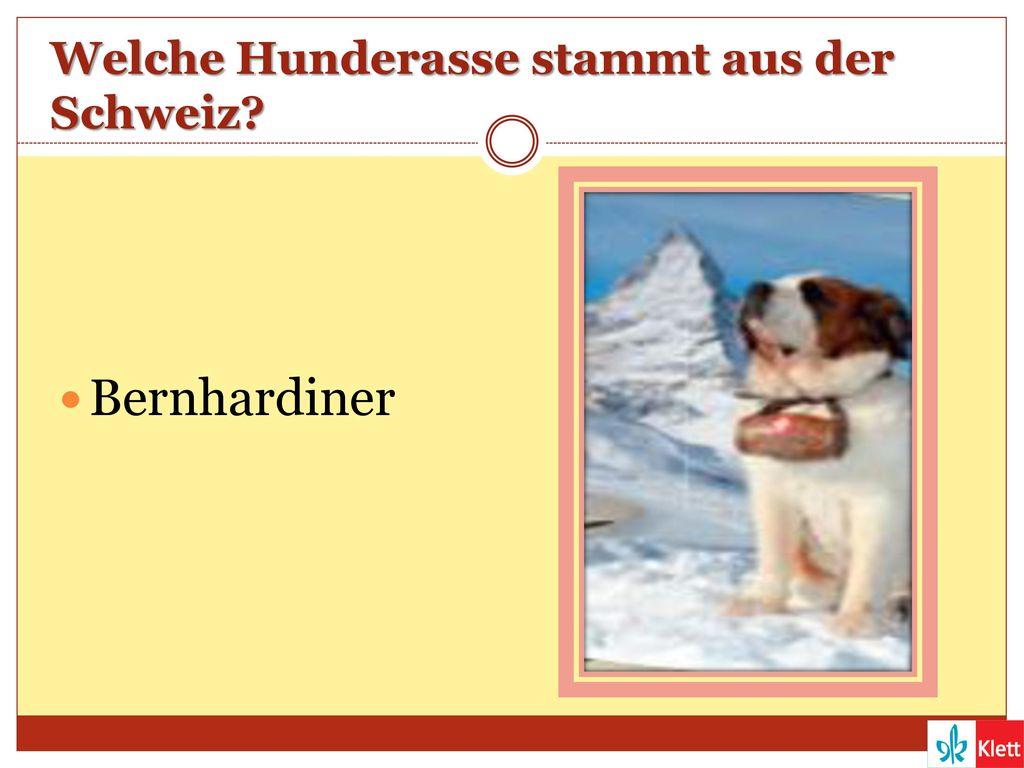 Welche Hunderasse stammt aus der Schweiz