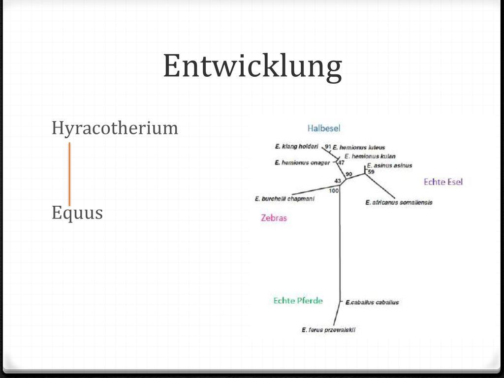 Entwicklung Hyracotherium Equus