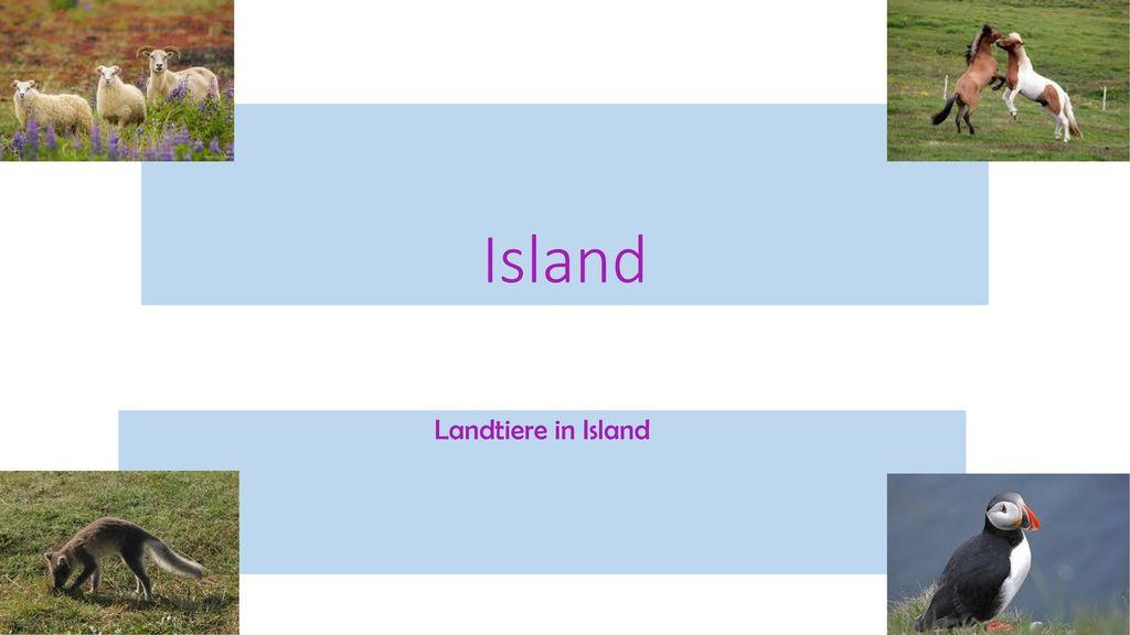 Island Landtiere in Island