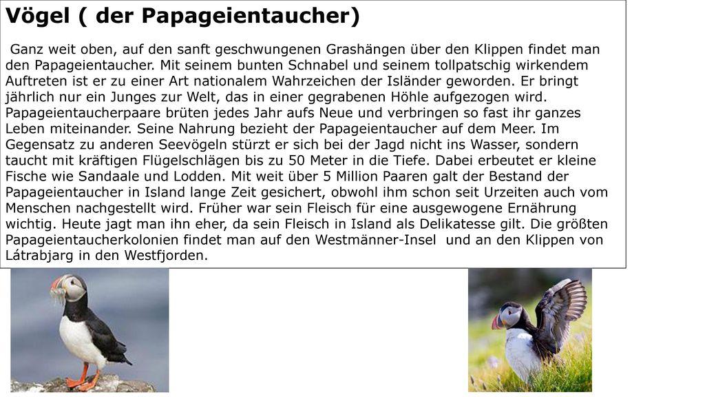 Vögel ( der Papageientaucher)