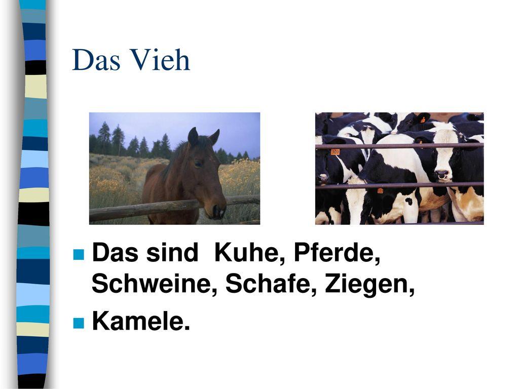 Das Vieh Das sind Kuhe, Pferde, Schweine, Schafe, Ziegen, Kamele.