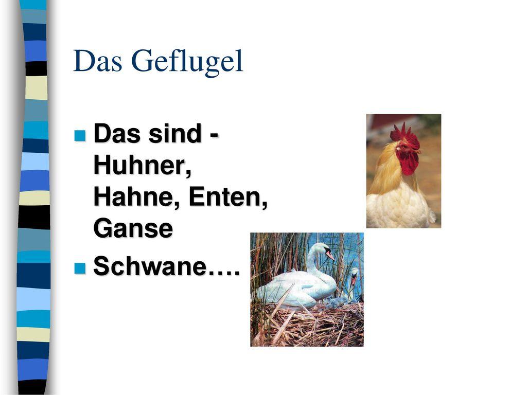 Das Geflugel Das sind - Huhner, Hahne, Enten, Ganse Schwane….