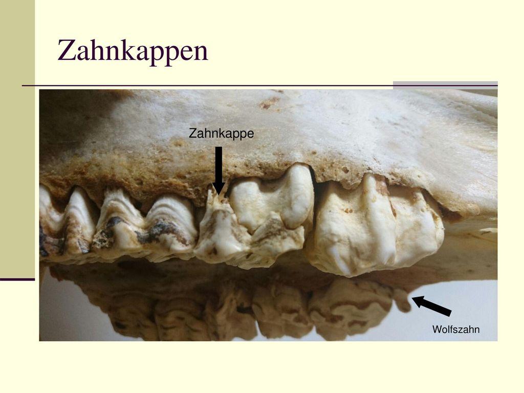 Zahnkappen Zahnkappe Wolfszahn