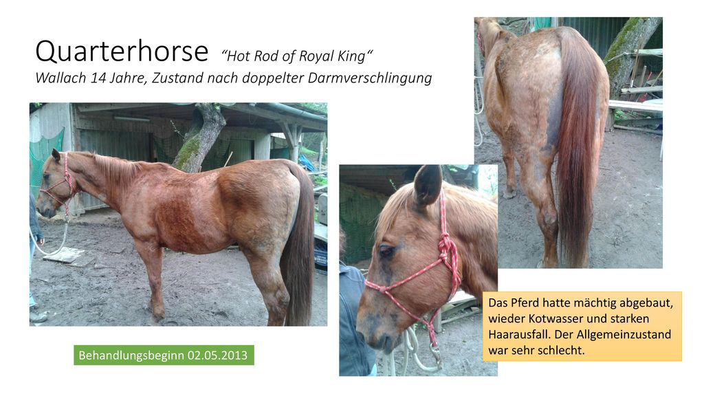 Quarterhorse Hot Rod of Royal King Wallach 14 Jahre, Zustand nach doppelter Darmverschlingung