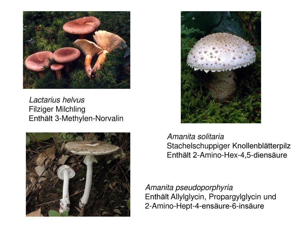 Lactarius helvus Filziger Milchling. Enthält 3-Methylen-Norvalin. Amanita solitaria. Stachelschuppiger Knollenblätterpilz.