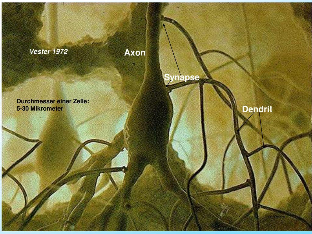 Axon Synapse Dendrit Vester 1972 Durchmesser einer Zelle: