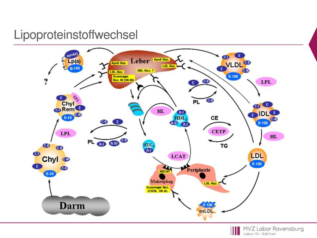 Lipoproteinstoffwechsel