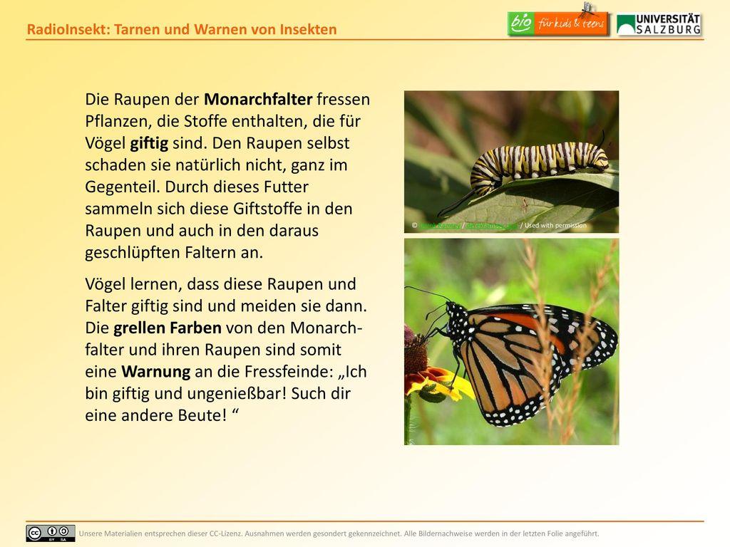 Die Raupen der Monarchfalter fressen Pflanzen, die Stoffe enthalten, die für Vögel giftig sind. Den Raupen selbst schaden sie natürlich nicht, ganz im Gegenteil. Durch dieses Futter sammeln sich diese Giftstoffe in den Raupen und auch in den daraus geschlüpften Faltern an.