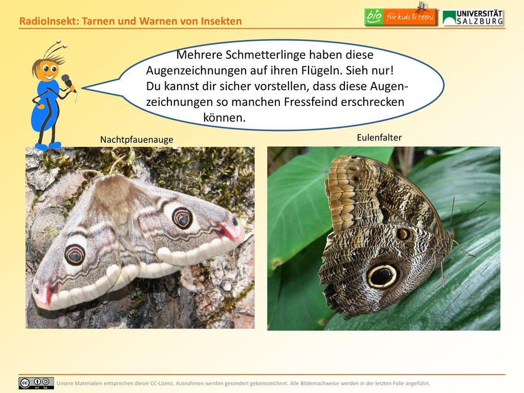 Mehrere Schmetterlinge haben diese Augenzeichnungen auf ihren Flügeln