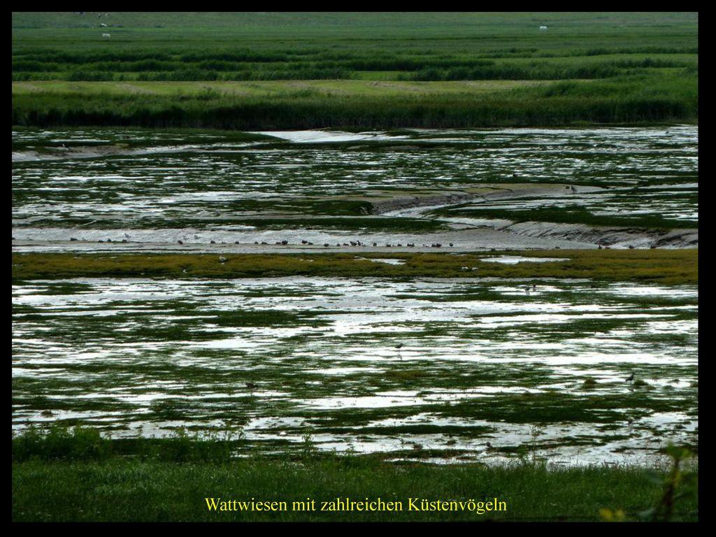 Wattwiesen mit zahlreichen Küstenvögeln