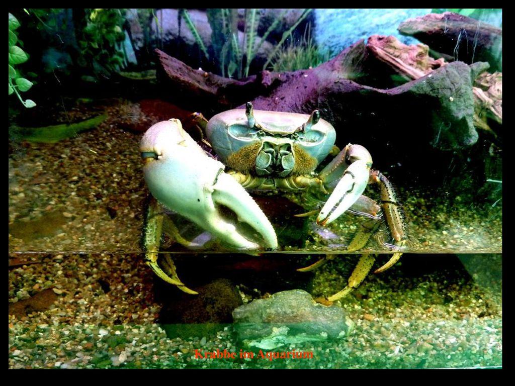 Krabbe im Aquarium