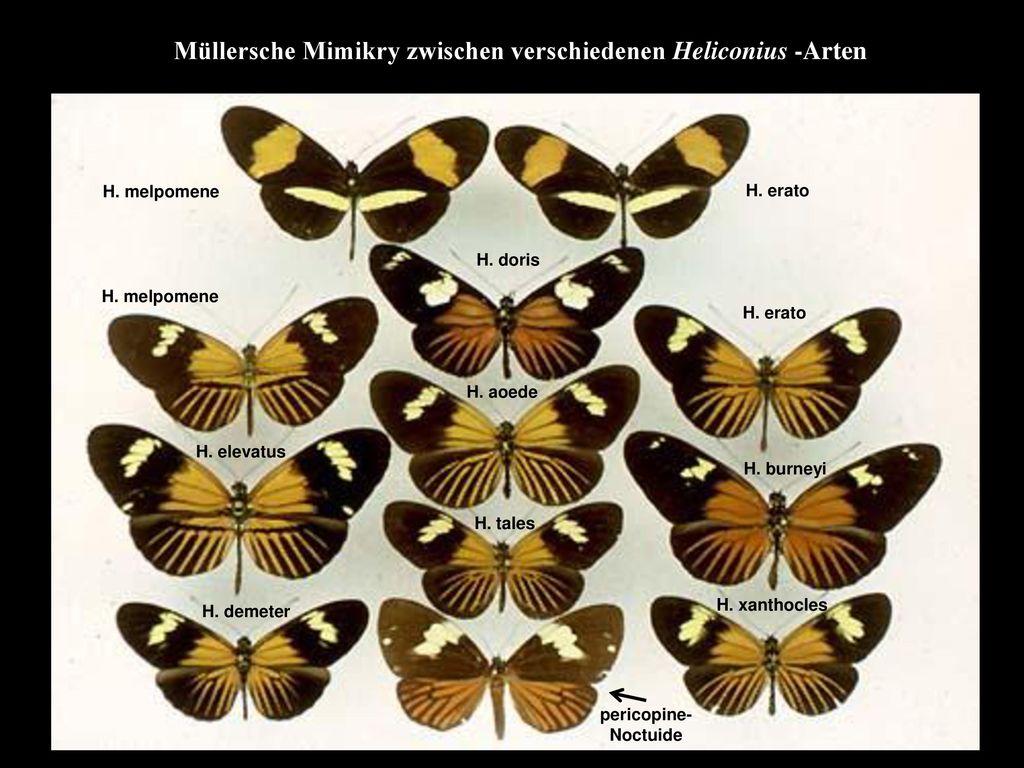 Müllersche Mimikry zwischen verschiedenen Heliconius -Arten