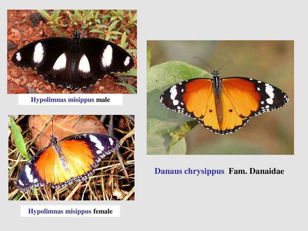 Danaus chrysippus Fam. Danaidae