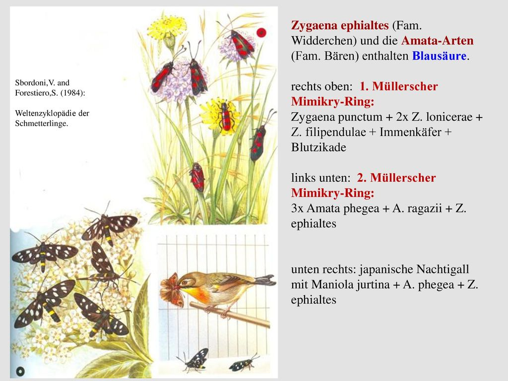 rechts oben: 1. Müllerscher Mimikry-Ring: