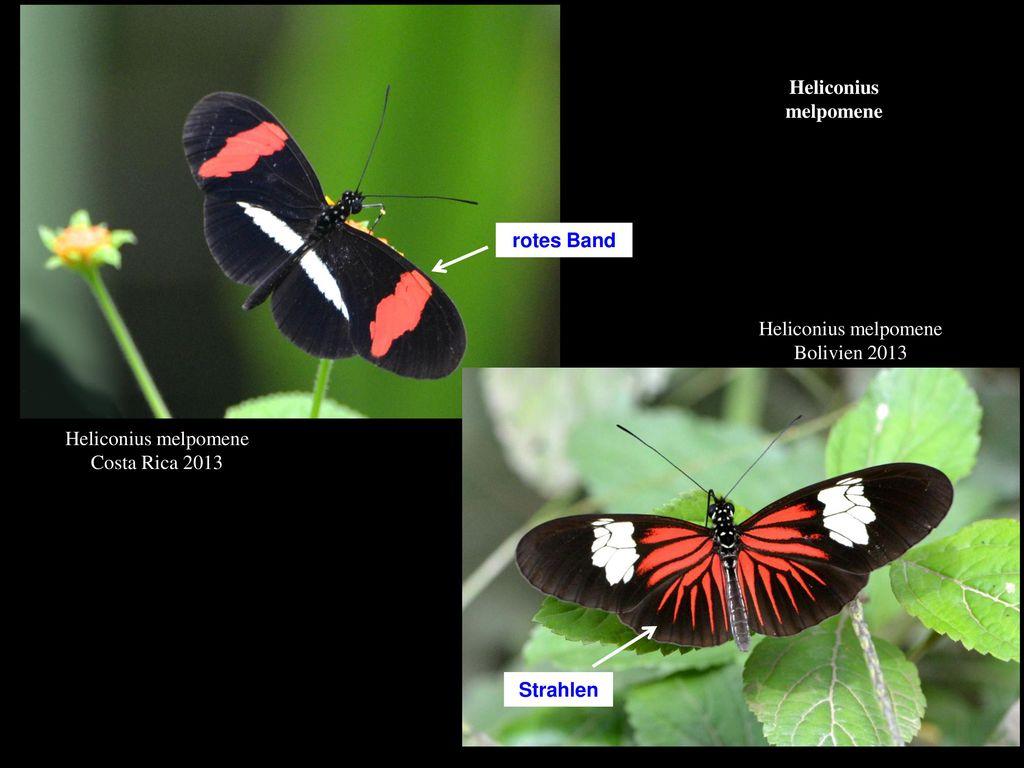 Heliconius melpomene rotes Band. Heliconius melpomene. Bolivien 2013. Heliconius melpomene. Costa Rica 2013.