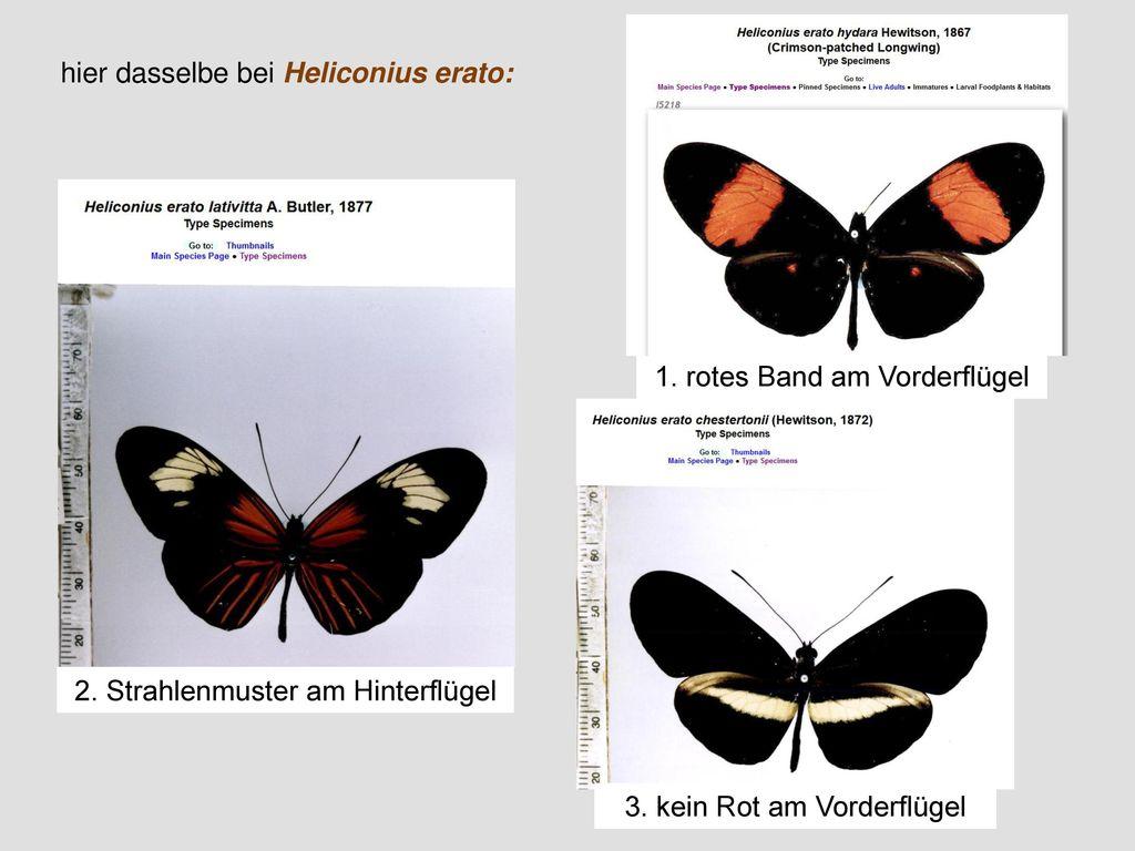 hier dasselbe bei Heliconius erato: