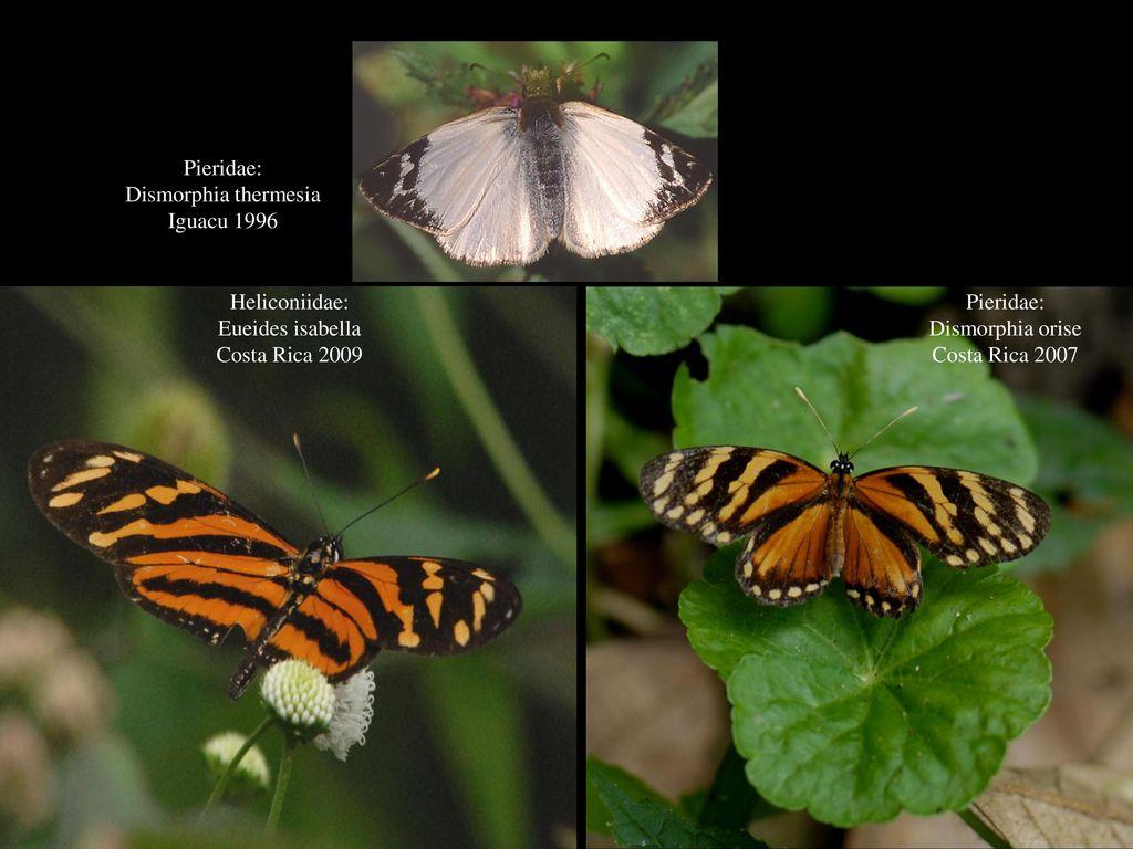 Pieridae: Dismorphia thermesia. Iguacu 1996. Heliconiidae: Eueides isabella. Costa Rica 2009. Pieridae: