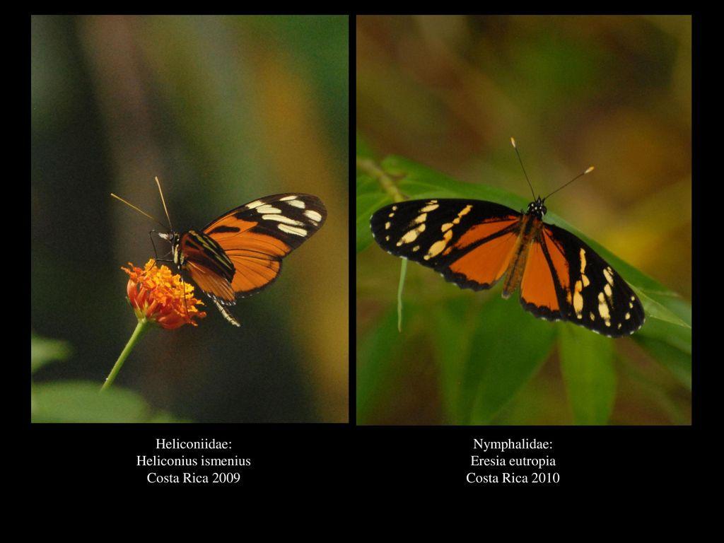 Heliconiidae: Heliconius ismenius Costa Rica 2009 Nymphalidae: Eresia eutropia Costa Rica 2010