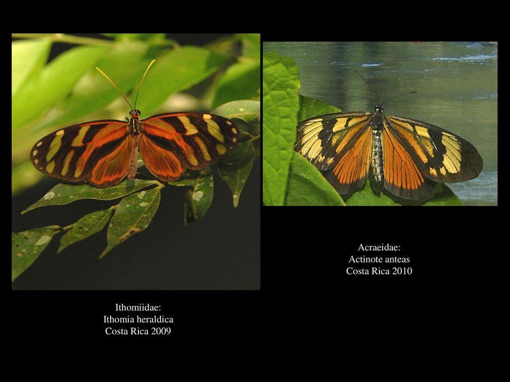 Acraeidae: Actinote anteas Costa Rica 2010 Ithomiidae: Ithomia heraldica Costa Rica 2009