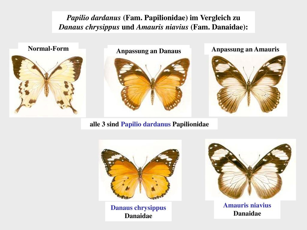 Papilio dardanus (Fam. Papilionidae) im Vergleich zu Danaus chrysippus und Amauris niavius (Fam. Danaidae):