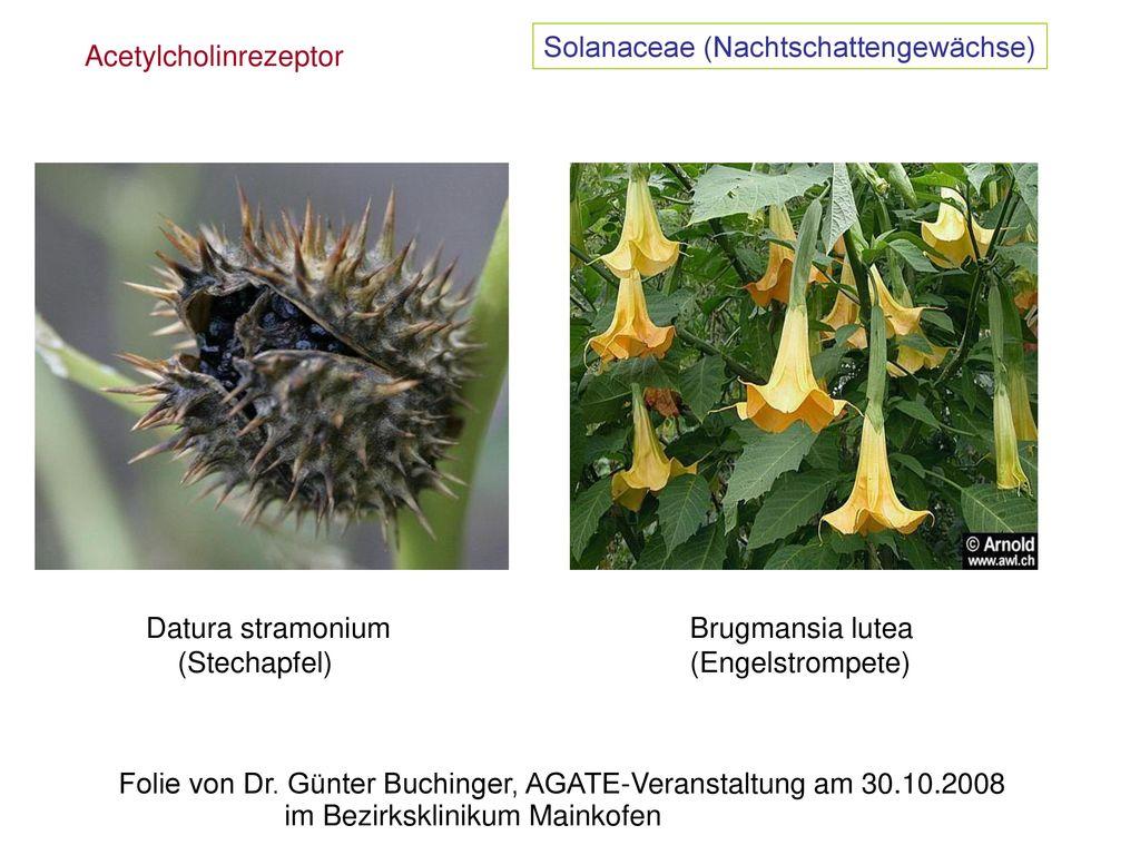 Solanaceae (Nachtschattengewächse)