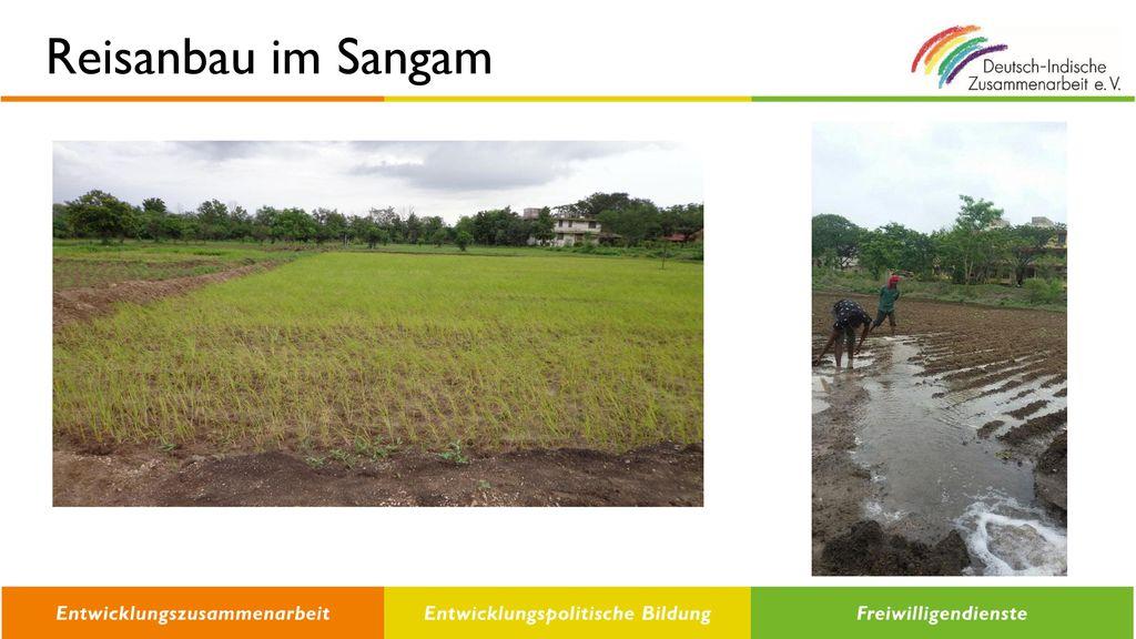 Reisanbau im Sangam
