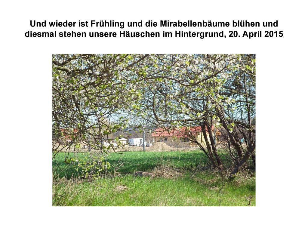 Und wieder ist Frühling und die Mirabellenbäume blühen und diesmal stehen unsere Häuschen im Hintergrund, 20.
