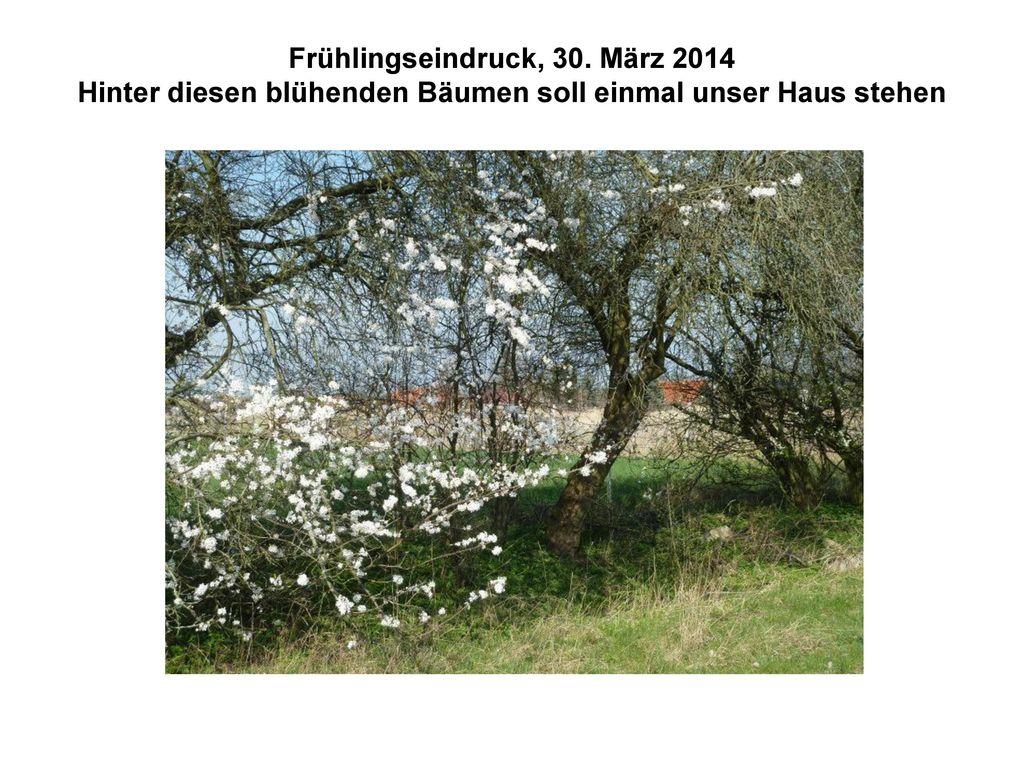 Frühlingseindruck, 30. März 2014 Hinter diesen blühenden Bäumen soll einmal unser Haus stehen