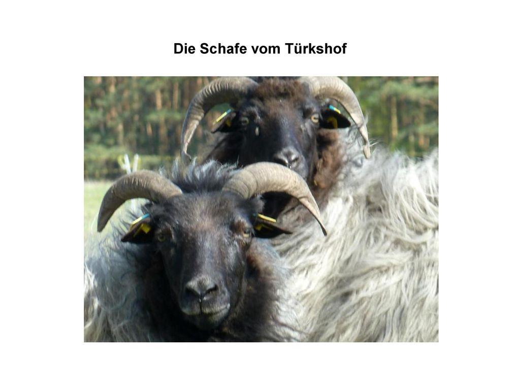 Die Schafe vom Türkshof