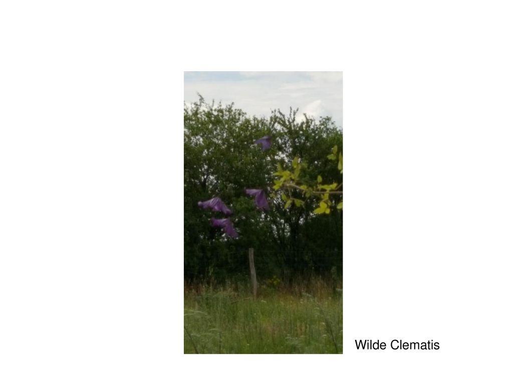 Wilde Clematis