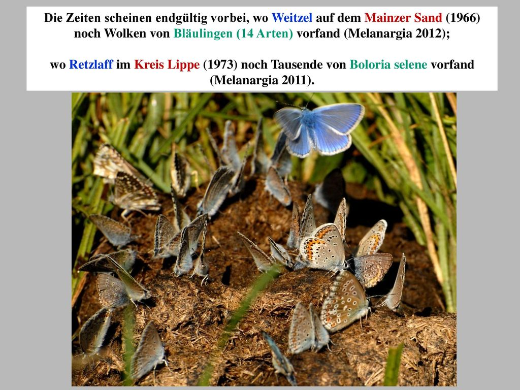 Die Zeiten scheinen endgültig vorbei, wo Weitzel auf dem Mainzer Sand (1966) noch Wolken von Bläulingen (14 Arten) vorfand (Melanargia 2012);