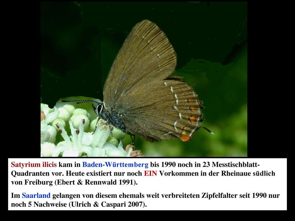 Satyrium ilicis kam in Baden-Württemberg bis 1990 noch in 23 Messtischblatt-Quadranten vor. Heute existiert nur noch EIN Vorkommen in der Rheinaue südlich von Freiburg (Ebert & Rennwald 1991).