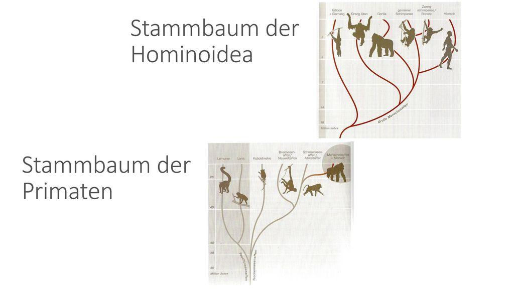 Stammbaum der Primaten