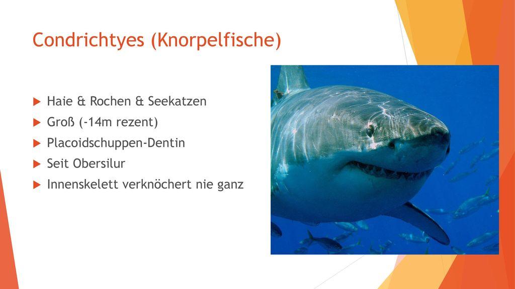 Condrichtyes (Knorpelfische)