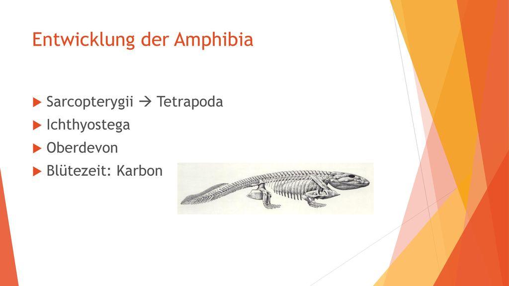 Entwicklung der Amphibia
