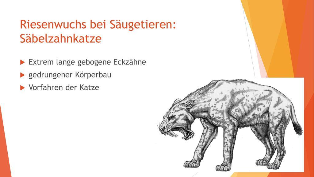 Riesenwuchs bei Säugetieren: Säbelzahnkatze
