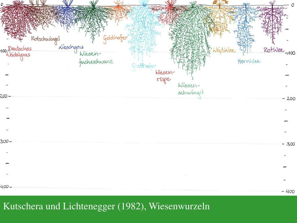 Kutschera und Lichtenegger (1982), Wiesenwurzeln