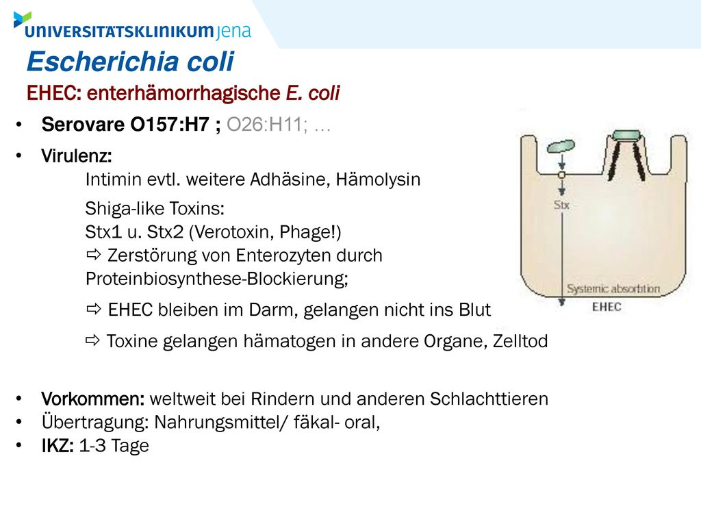 Escherichia coli EHEC: enterhämorrhagische E. coli