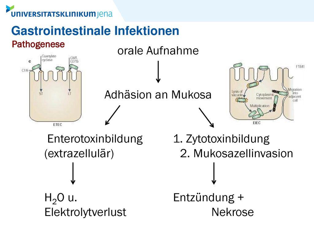 Enterotoxinbildung 1. Zytotoxinbildung