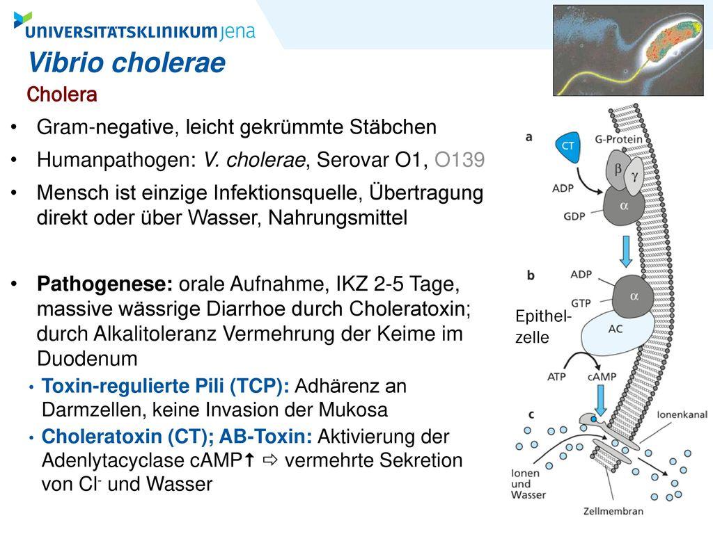 Vibrio cholerae Cholera Gram-negative, leicht gekrümmte Stäbchen