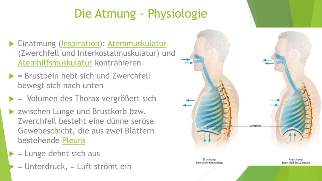 Die Atmung - Physiologie