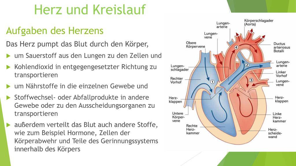 Herz und Kreislauf Aufgaben des Herzens