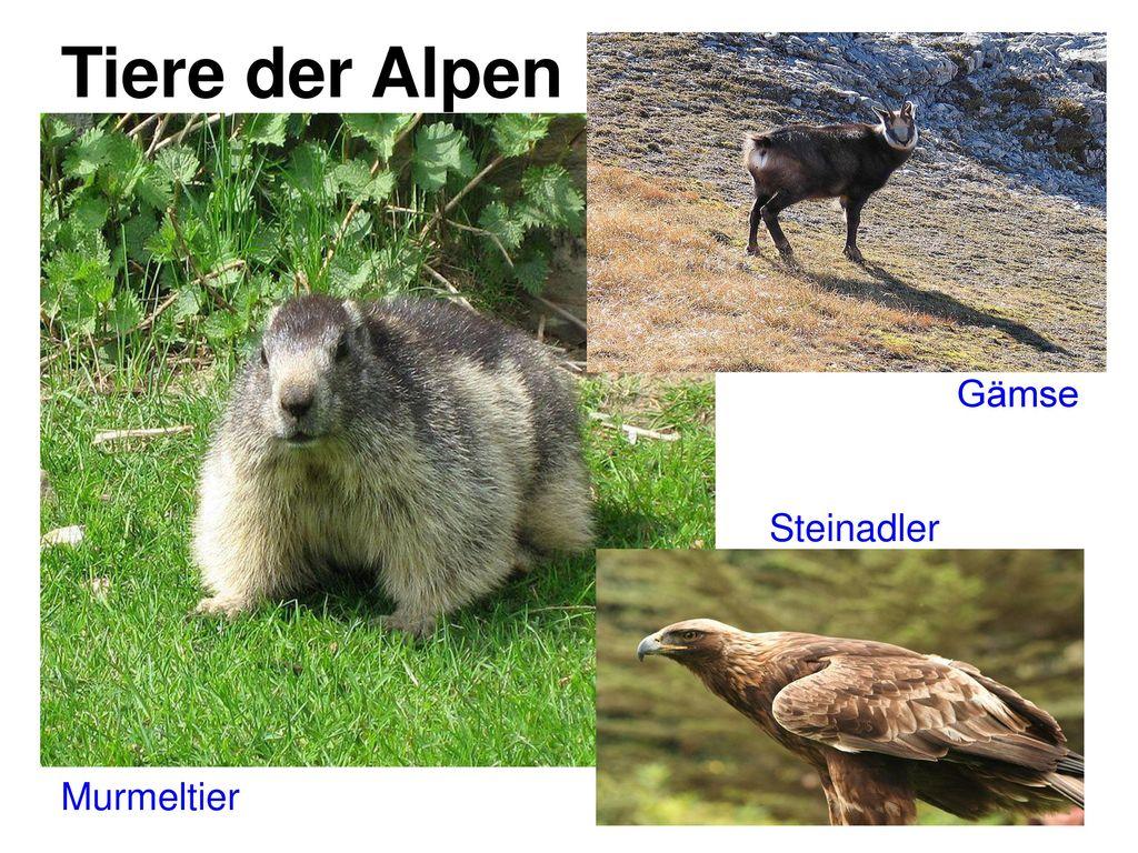 Tiere der Alpen Gämse Steinadler Murmeltier