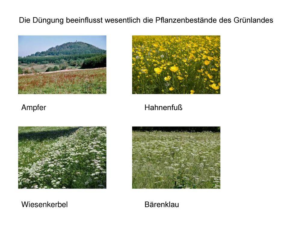 Die Düngung beeinflusst wesentlich die Pflanzenbestände des Grünlandes