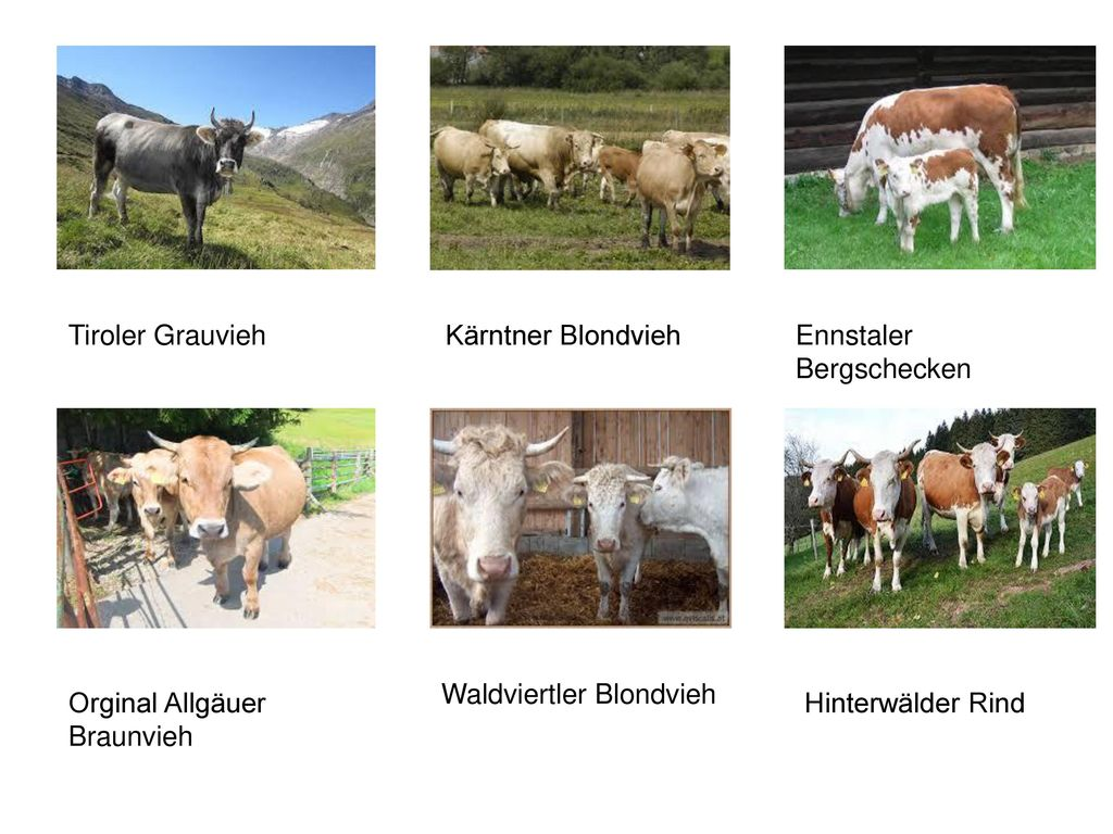 Tiroler Grauvieh Kärntner Blondvieh. Ennstaler Bergschecken. Waldviertler Blondvieh. Orginal Allgäuer Braunvieh.